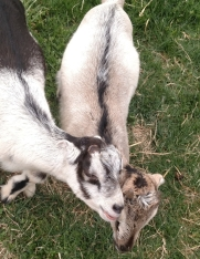 goats 21